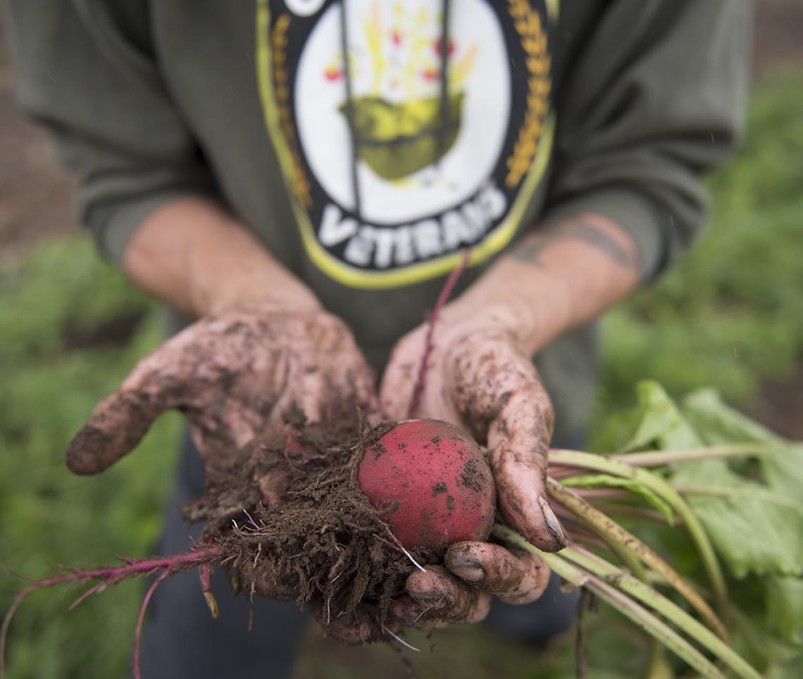 Justin Blotsky picks beets in Mt. Vernon, Washington on Wednesday, September 7, 2016. Photo by Clay Lomneth / The American Legion.